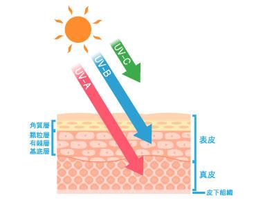 UV-A、B、C皮膚への影響